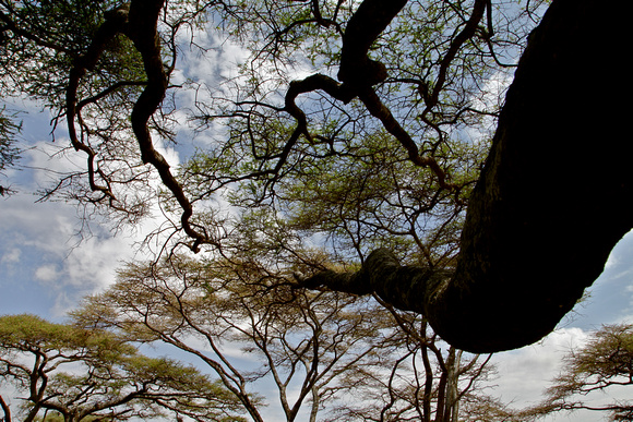 Acacia trees rise up into the sky in the Serengeti in Tanzania