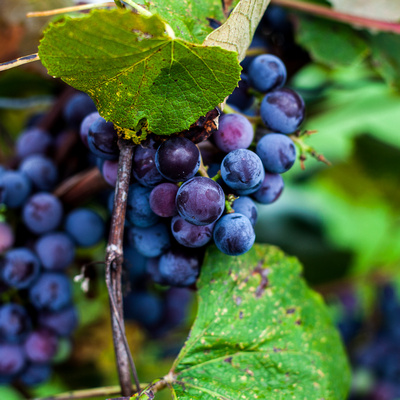 Grapes of Finger Lakes Wineries and Vineyards